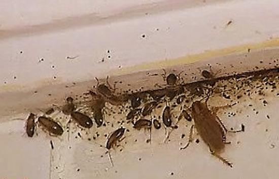 Eliminar Cucarachas Cocina | Eliminar Cucarachas En Casa Aprende A Evitar Controlar Y Eliminar